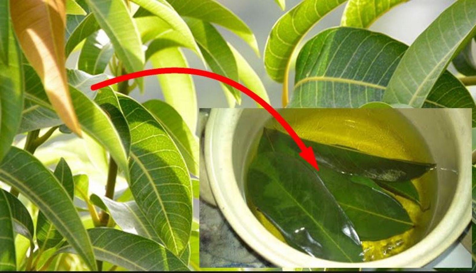 Drink mango leaves tea, health benefits | News Track Live ...