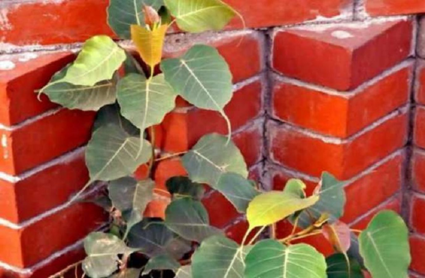 If a peepal tree has grown near your house too, do not forget to ...