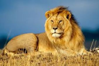 जानें, क्या हुआ जब शेर पकड़ने गई पुलिस