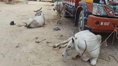 राजस्थान : पुलिस पर फायरिंग कर फरार हुए गौ तस्कर, रस्सी से बांध कर ले जा रहे थे गाय