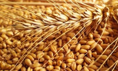 In the current season, Government procurement recorded  337 lakh tonnes of wheat