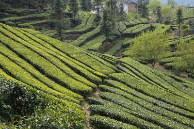In April Month tea exports go up by 30 percent