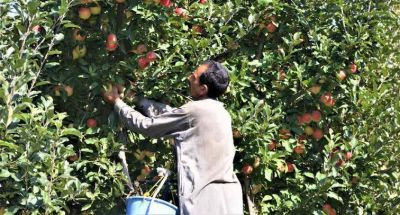 Kashmir: Restrictions in valley affects apple and walnut export