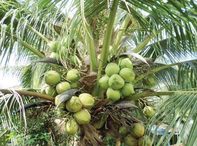 नारियल उत्पादन में कमी, दिखेगा भाव पर असर
