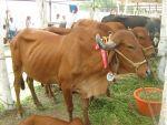ब्राजील से सांड के स्पर्म आयात करेगी गुजरात सरकार