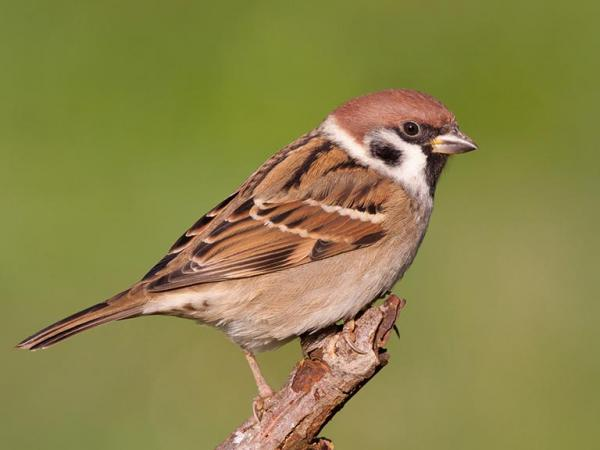 Amazing Facts: Little known facts about Sparrow
