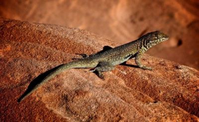 Amazing Facts: Surprising lizard facts