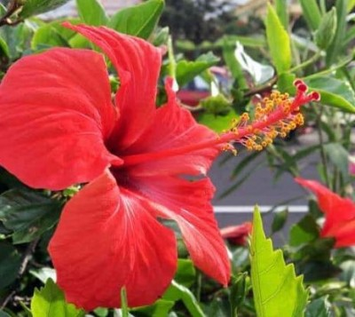 Hibiscus is more beneficial than rose, know its benefits