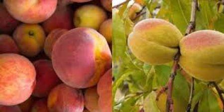 किडनी से जुड़ी बीमारियों को दूर करता है सेब की तरह दिखने वाला ये फल