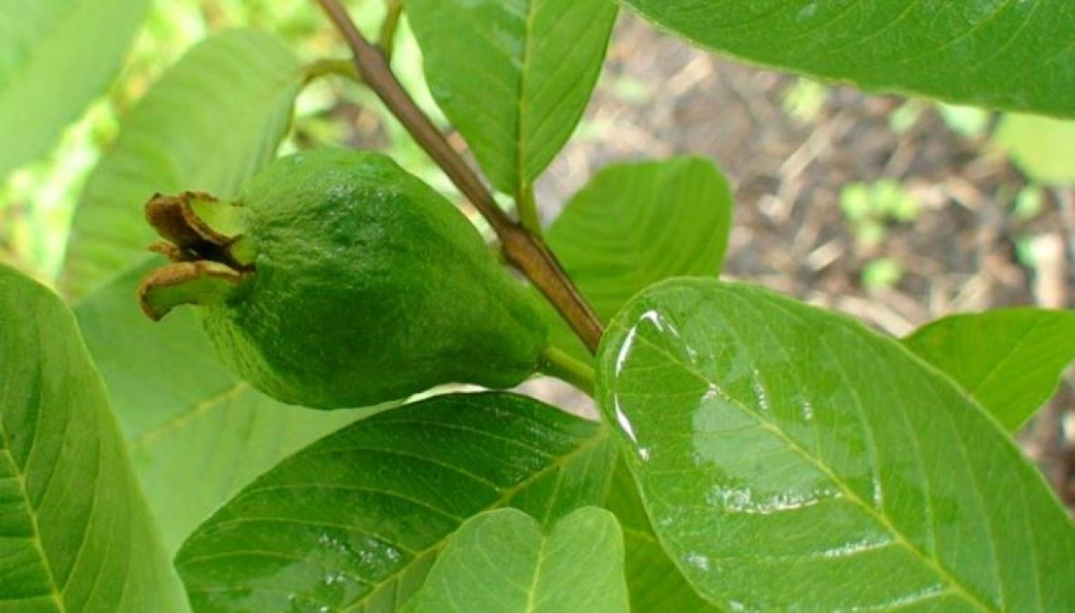 Not just fruit, guava leaves are also beneficial, learn benefits