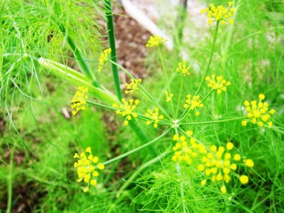 Know special health benefits of fennel (Saunf)