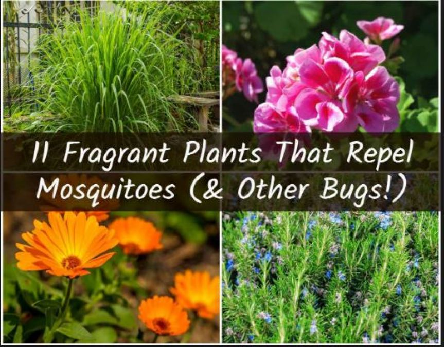 5 Plants to Use as a Natural Mosquito Repellent