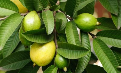 Know health benefits of consuming guava leaves