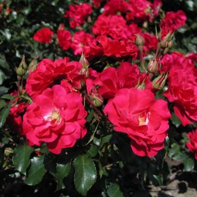Along with decoration rose is also as well as beneficial for health