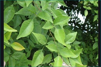 Know amazing benefits of Bell leaves