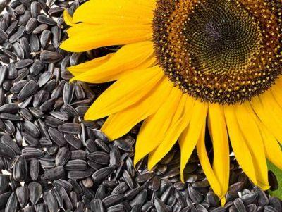 हृदय रोगों से बचाता है सूरजमुखी का बीज