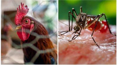 मुर्गी के साथ सोएं, नहीं होगा मलेरिया