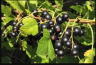 Benefits of blackcurrant in arthritis