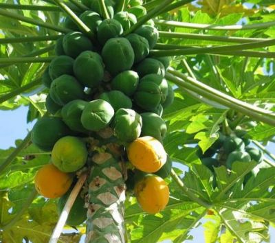 Raw papaya can relieve many problems of women