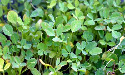 Fenugreek is very beneficial for health, know how to use
