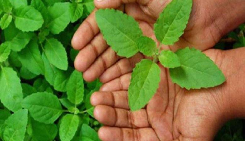Image result for तुलसी
