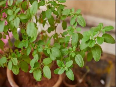 Health Benefits and Medicinal Uses of Eating Basil (Tulsi)