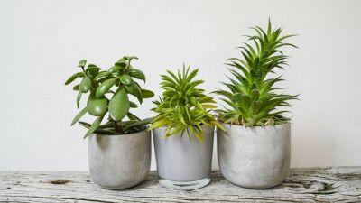 आप के खूबसूरत घर को प्रदूषण से बचाएंगे ये पौधे