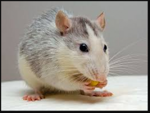 If you are Troubled by mice in the house, then use this remedy!