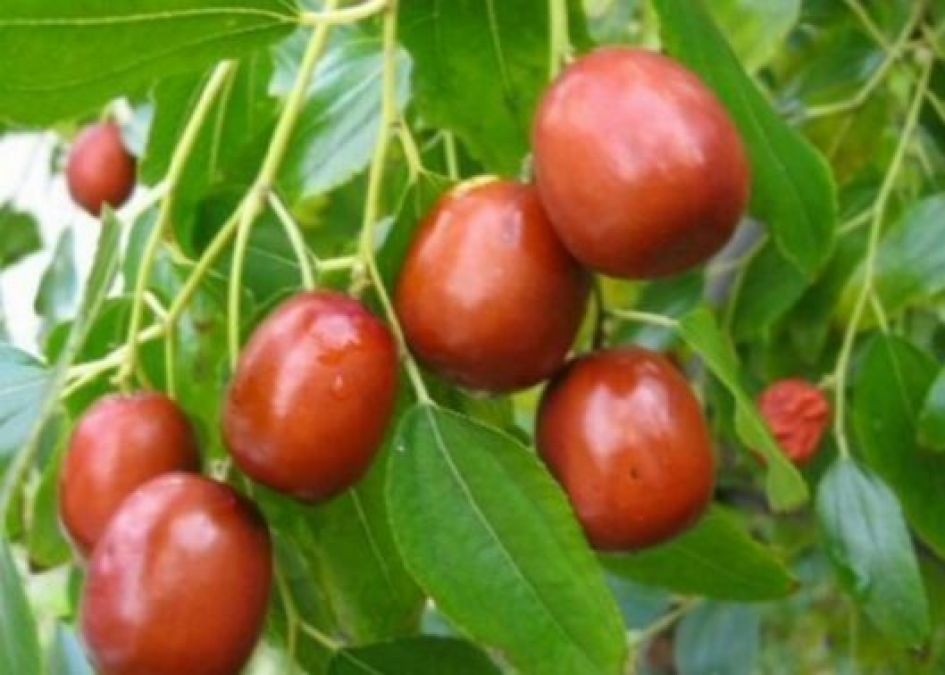 Jujube leaf is beneficial for reducing belly fat