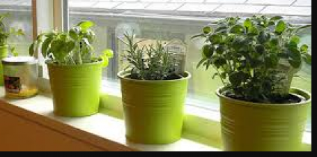 Plant these herbs at home; Know benefits