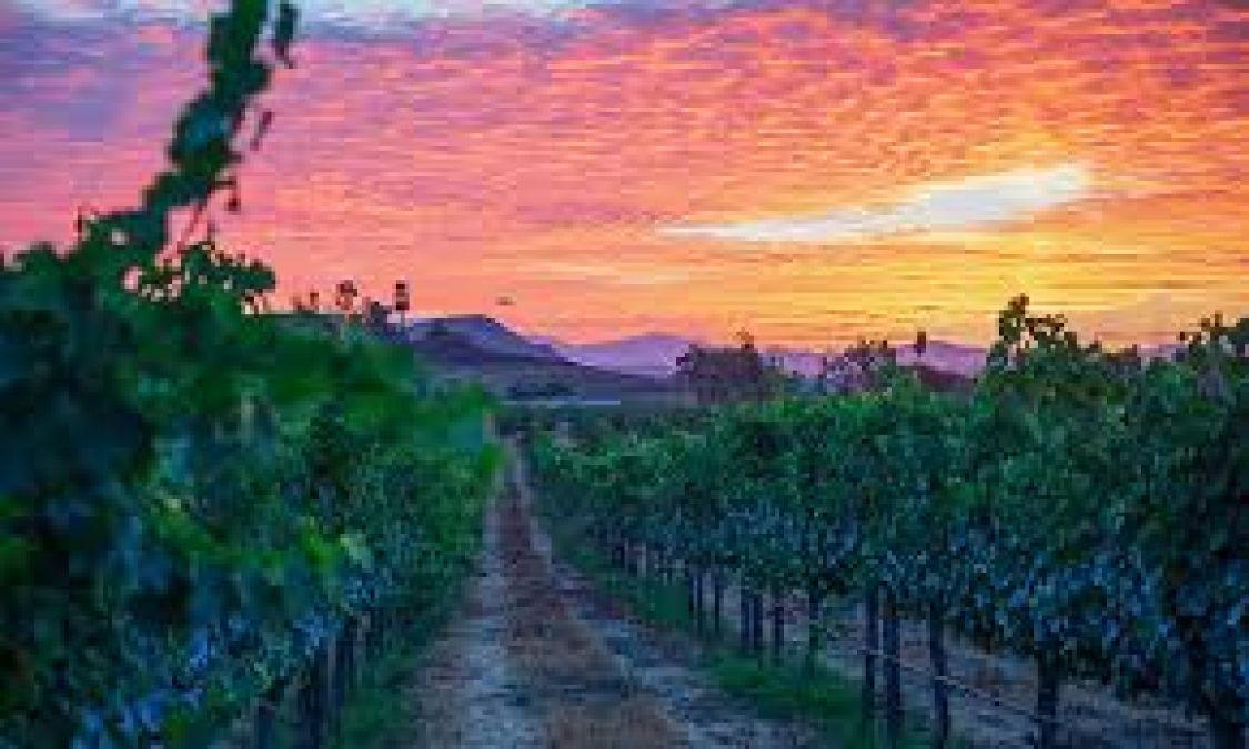 वाइन के शौक़ीन हैं तो जरूर जाएं कैलिफ़ोर्निया, मिलेंगे खेत
