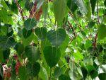 वृक्षों में पीपल की श्रेष्टता और महत्वता का रहस्य