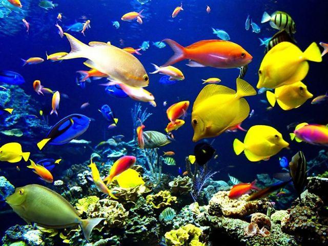 घर में रखे लाल और काली मछली