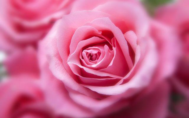 गुलाबी रंग है सौभ्याय का प्रतीक