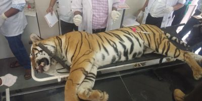 Maharashtra government gives clean chit to Asgar Ali who killed  tigress Avni