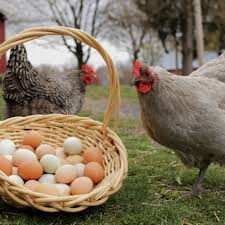 Eat chicken and eggs well cooked: WHO