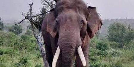 A cow and elephant was found dead due to anthrax
