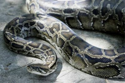 Viral Video:  Woman woken up by giant python in her bedroom, read what happens next