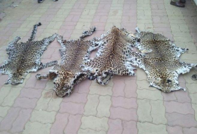 Leopard skin racket busted in Odisha, 7 arrested