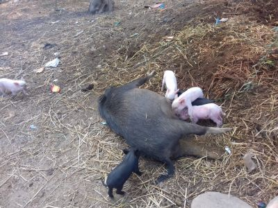 Telangana: Over 15 animals poisoned in Ghatkesar by Villagers
