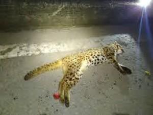 Increase in Leopard cat deaths a serious concern, Tamil Nadu