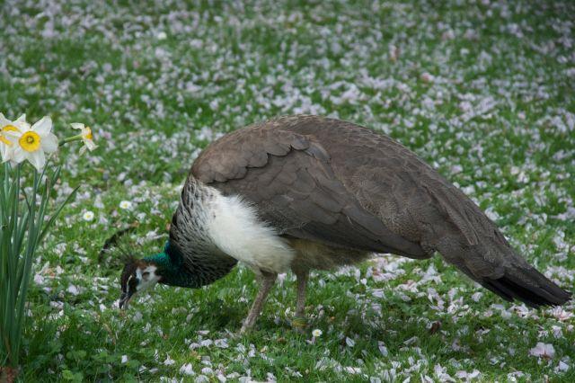 क्या मोर एक उपद्रवी पक्षी है?