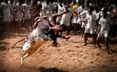 Preparations in progress for Jallikattu competition in Madurai, TN