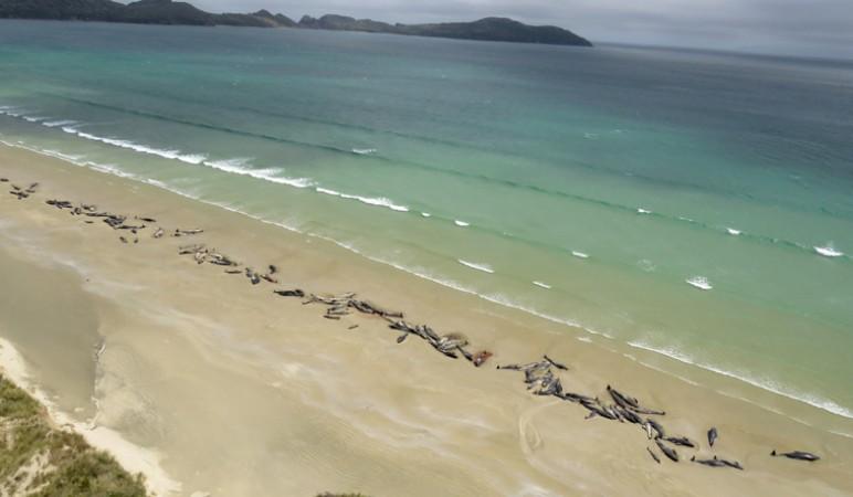 न्यूजीलैंड में करीब 100 व्हेल की मौत बनी रहस्य
