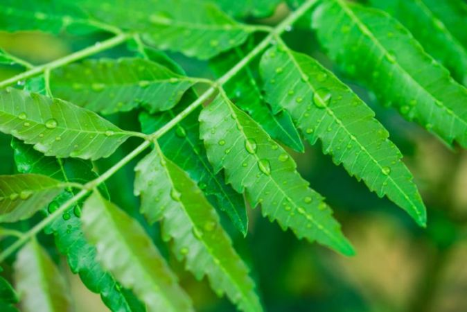 Use Neem leaves to darken hair 1 | News Track English, NewsTrack