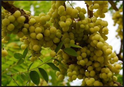 This one fruit herb gives you multiple health benefits in amazing ways