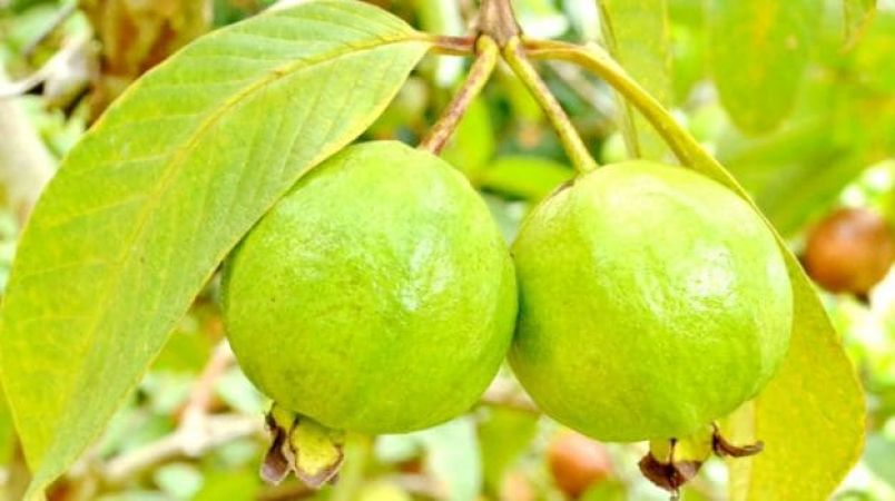 10 amazing health benefits of Guava which will make you to include in your diet