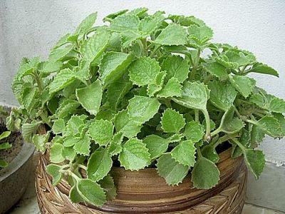 Medicinal and Incredible Uses And Benefits Of Ajwain Leaves