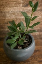 3 Benefits of bay leaves to keep you healthy
