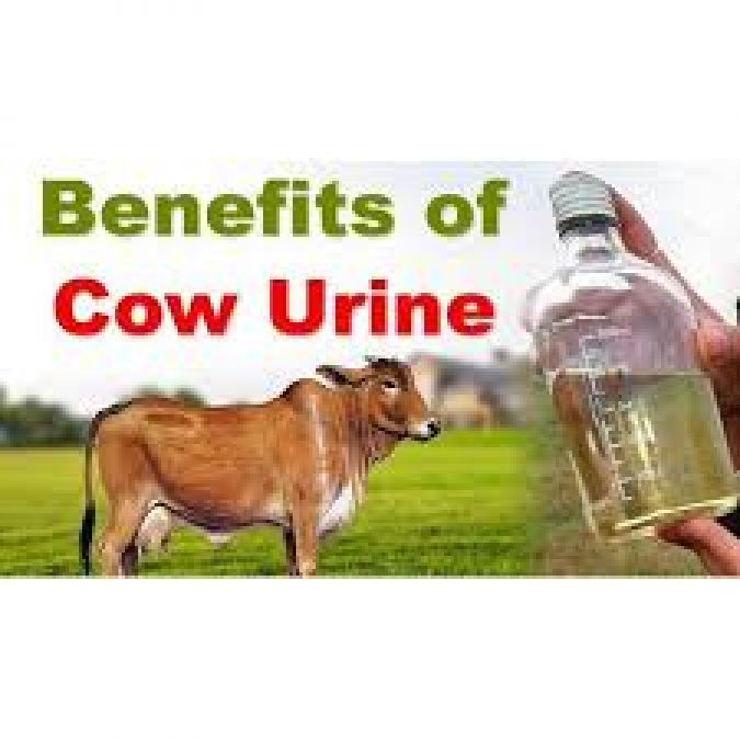 Cow urine is beneficial in many